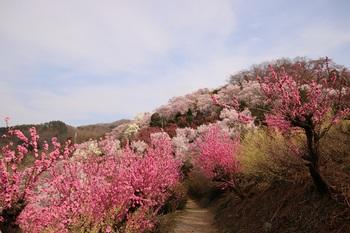 花見山2.jpg
